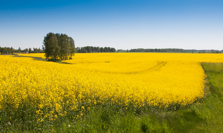 Field of bright yellow rapeseed in spring. Rapeseed, Brassica napus, oil seed rape