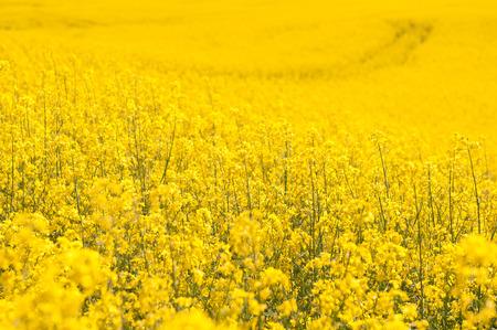 yellow Rapeseed field background. Field of bright yellow rapeseed in spring. Rapeseed, Brassica napus, oil seed rape Stock Photo