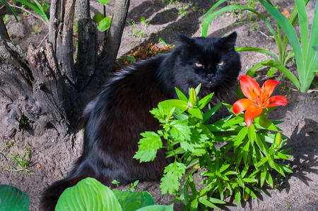 black cat is sitting near orange Lily Stock Photo