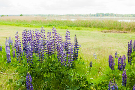 Fresh blossoming lupines in field. High lush purple lupine flowers, summer meadow. Stock Photo
