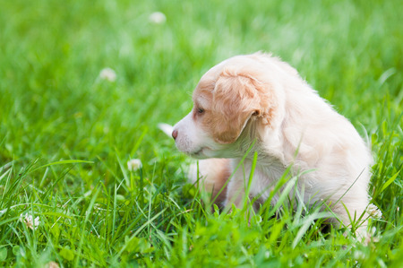 small world: Funny puppy creamy color sitting on the green grass. First walk Stock Photo