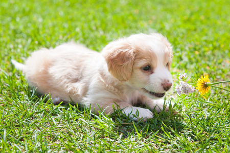 Funny puppy creamy color sitting on the green grass. First walk Stock Photo