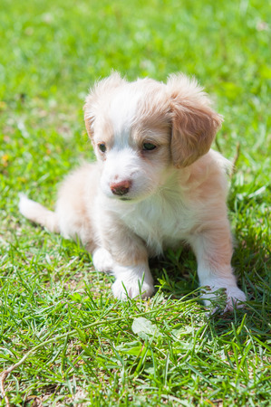 dog grooming: Funny puppy creamy color sitting on the green grass. First walk Stock Photo