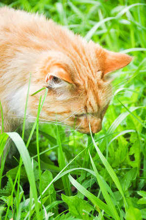 Cute red cat eating green grass outdoors Stock Photo