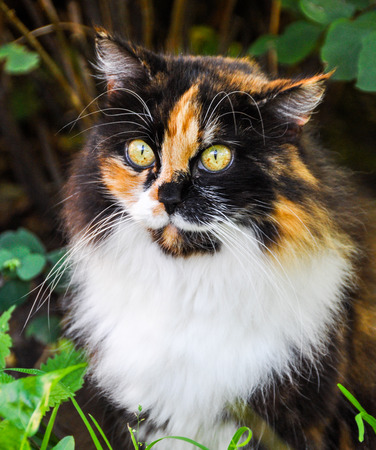 one lost beautiful spotted fluffy multicolor cat outside Stock Photo