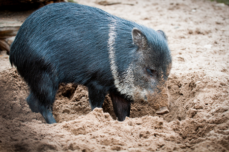 funny wild boar standing in the sand