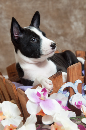 humor: small black Basenji dog puppy is sitting in the basket Stock Photo