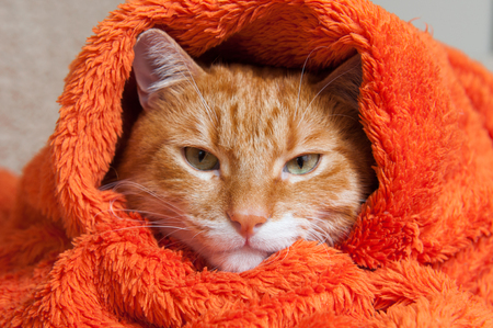 bright red cat is sitting in a plush soft orange wrap Stock Photo