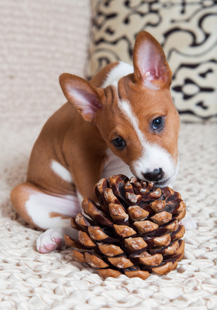 humor: funny small red Basenji dog puppy with big cedar cone