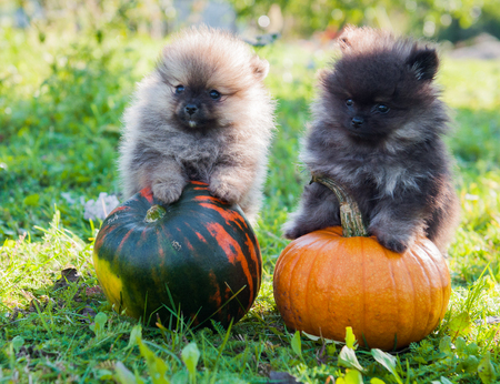 two funny pomeranian dogs and pumpkin, halloween background