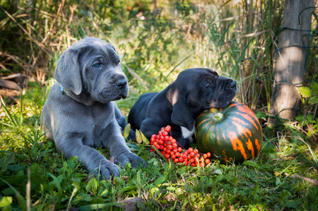 funny sleeping two Great Dane dogs puppies and pumpkin Stock Photo