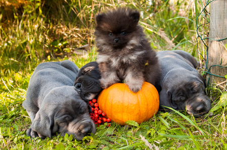 funny sleeping three Great Dane dogs puppies and one Pomeranian Spitz puppy and pumpkin Stock Photo