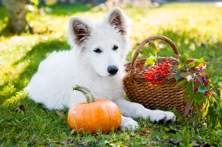 grappige witte herdershond puppy en pompoen