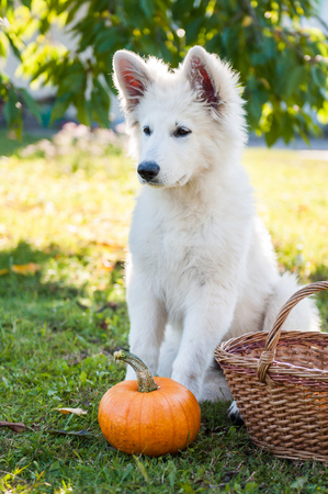 funny white sheepdog puppy and pumpkin