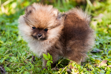 funny small pomeranian dog puppy is sitting on green grass background Stock Photo