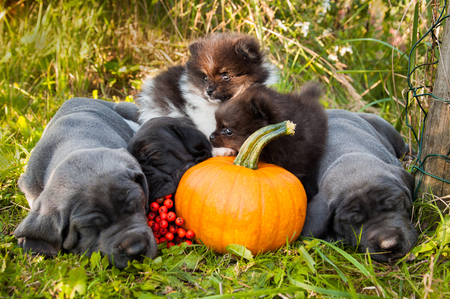 funny sleeping three Great Dane dogs puppies and two Pomeranian Spitz puppy and pumpkin