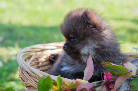 funny pomeranian dog puppy are sitting in the basket, halloween background
