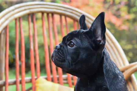 funny black French bulldog puppy close up on chair on autumn background Stock Photo