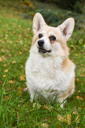corgi dog portrait on autumn background
