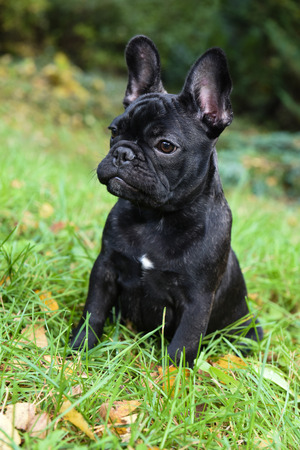 beautiful black French bulldog puppy close up