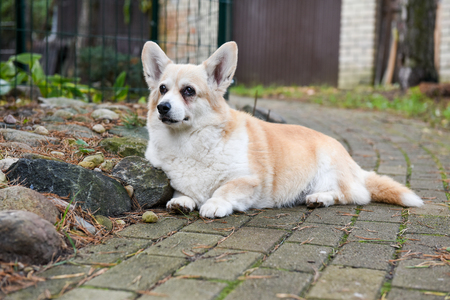 corgi dog portrait in old age on the road in the yard on autumn background Stock Photo