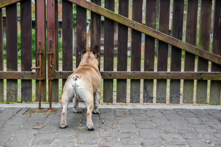 French bulldog dog is guarding the house at the wooden fence Stock Photo