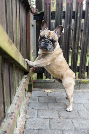 French bulldog dog is at the wooden fence
