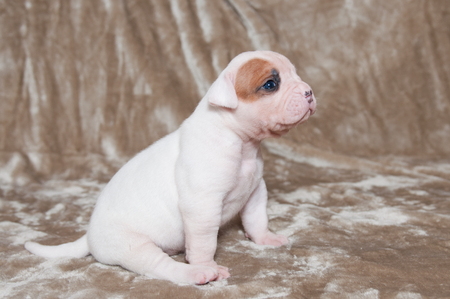 Sad puppy. Funny white American Bulldog puppy on light background Stock Photo