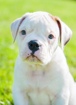 Funny nice white American Bulldog puppy close up on nature