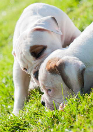 Two funny American Bulldog puppies are playing with love on nature. Stock Photo