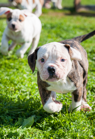 smooth: Two funny American Bulldog puppies are playing with love on nature. Stock Photo