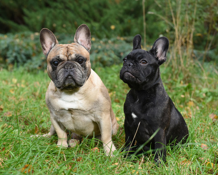 Two funny friendly French bulldogs on nature