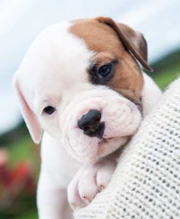 Funny nice American Bulldog puppy on hands on nature background
