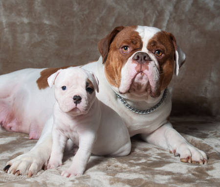Funny American Bulldog puppy with mother in love. The American bulldogs are well built, strong-looking dog, with a large head and a muscular build.