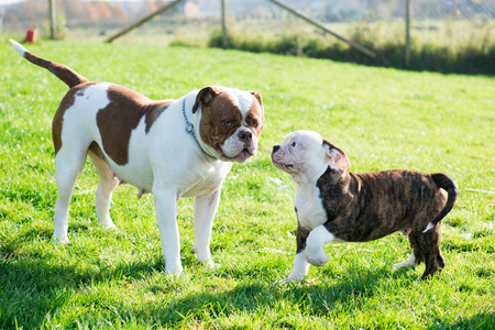 Funny American Bulldog puppy with mother are playing with love on nature. The American bulldogs are well built, strong-looking dog, with a large head and a muscular build. Stock Photo
