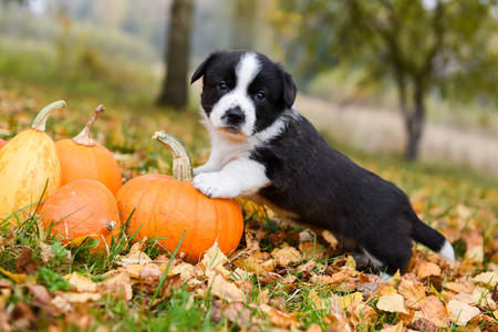 funny welsh corgi pembroke puppy dog posing with pumpkins on an autumn background Stock fotó