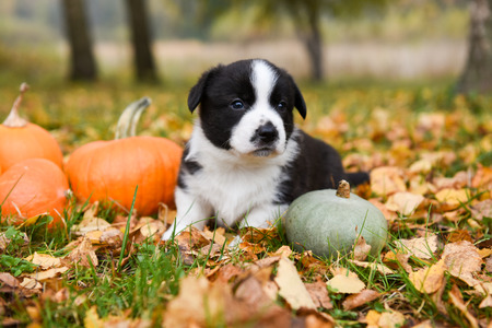 funny corgi puppy dog with a pumpkin on an autumn background Stock Photo