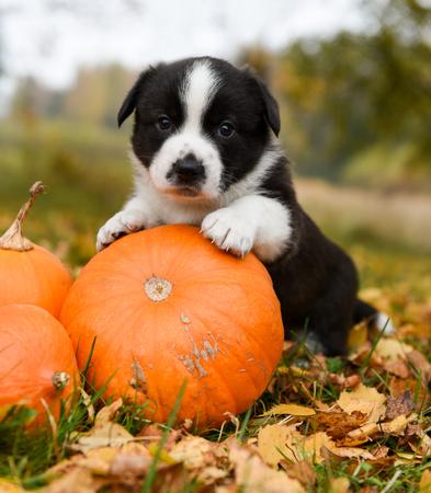 celebration: funny welsh corgi pembroke puppy dog posing with pumpkins on an autumn background Stock Photo