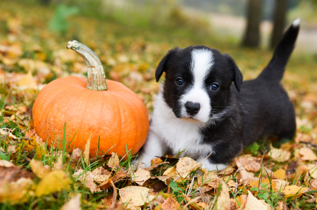 funny welsh corgi pembroke puppy dog posing with pumpkins on an autumn background Stock Photo
