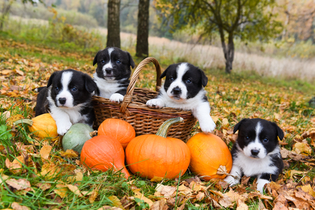 funny welsh corgi pembroke puppies dogs posing with pumpkins on an autumn background