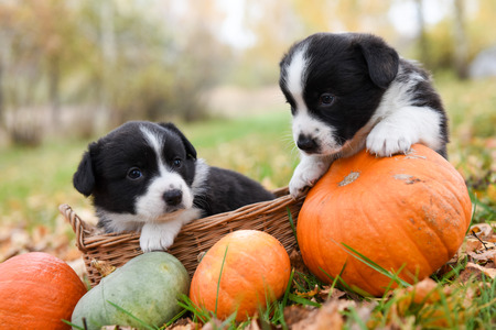 funny welsh corgi pembroke puppies dogs posing in the basket with pumpkins on an autumn background Stock Photo