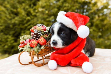 funny welsh corgi pembroke puppy in santa hat and New Year sled with gifts