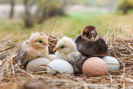 Little chicks in the hay with eggs Stock Photo