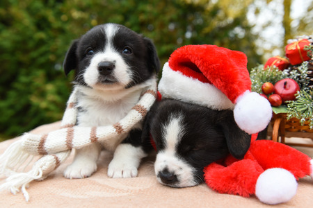 funny puppies in santa hat and New Year sled with gifts on Christmas background