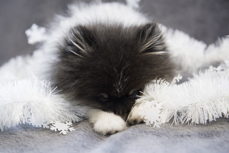 Pomeranian Spitz dog puppy is sleeping in garlands, Christmas card or background for New Year Stock Photo