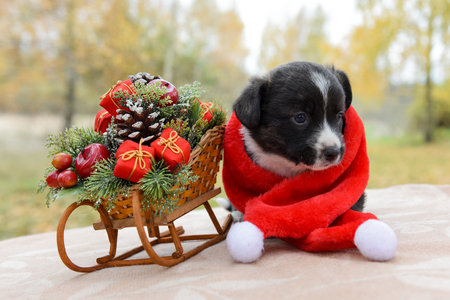funny welsh corgi pembroke puppy in santa hat on Christmas with New Year sled with gifts