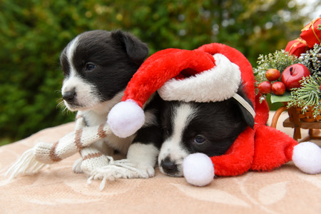 two funny welsh corgi pembroke puppy in santa hat and New Year sled with gifts on Christmas