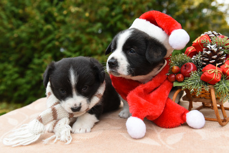 funny puppies dogs in santa hat and New Year sled with gifts on Christmas background Stock Photo