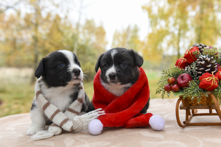 funny welsh corgi pembroke puppies dogs in santa clothes and New Year sled with gifts, Merry Christmas dog Stock Photo