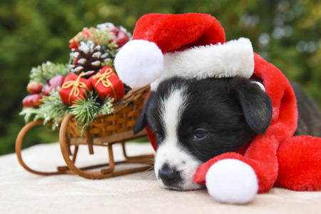 funny welsh corgi pembroke puppy dog is dreaming with New Year sled and gifts on Christmas